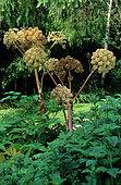 Garden Angelica (Angelica archangelica) in flower