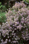 Provence Thyme (Thymus vulgaris), Aromatic plant