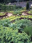 Formal vegetable garden: Artichoke (Cynara scolymus), Salad (Lactuca sativa), Alpine lady's mantle (Alchemilla mollis), Lavender (Lavandula sp), Parc Floral de Haute Bretagne, Ile-et-Vilaine, France