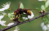 European hornet (Vespa crabro) eating a flower. Insect pest damage