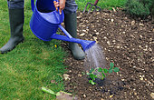 Planting a strawberry plant: watering