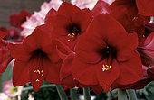 Amaryllis 'Red Lyon' (Hippeastrum sp) 'Red Lyon' flowers