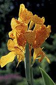 Balisier (Canna sp) 'En Avant', fleurs