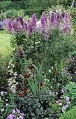 Delphinium (Delphinium sp) 'Astrolat' and Violet (Viola sp). West Green Garden, England
