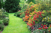 Turfed alley and Azalea border (Rhododendrons sp) in spring. Great Comp, England