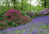 Flowering undergrowth with Rhododendron 'Marguerite' (Rhododendron sp) and Bluebell (Hyacinthoides non scripta) in spring, Bowood Garden Wiltshire, England