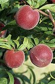 Peach 'J.H. Hale '(Prunus persica) on tree