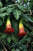 Red floripontio (Brugmansia sanguinea) flowers