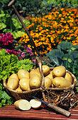 Potato basket 'Mariana' (Solanum tuberosum), vegetable