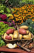 Basket of Mixed Potatoes (Solanum tuberosum), vegetable