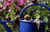 Burgundy snail (Helix pomatia) on watering can.