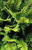 Soft shield fern (Polystichum setiferum) foliage