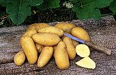 Potatoes (Solanum tuberosum) 'Yesmina', vegetable
