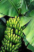 Banane (Musa sp) sur l'arbre, Printemps
