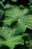 Dew drops on Alpine lady's mantle (Alchemilla mollis) leaf