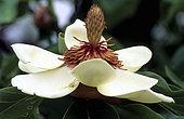Magnolia (Magnolia x wieseneri). Syn. (Magnolia x watsonii), flowers