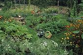Organic flowered vegetable garden: Wheelbarrow, Green Bean Basket (Phaseolus vulgaris) and various vegetables ...