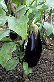 Eggplant 'Fabrina' (Solanum melongena), vegetable