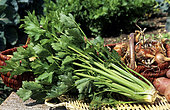 Celery 'Tall Utah' (Apium graveolens var. Dulce). Vegetable