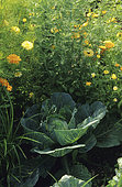 Cabbage cabbage 'Lagerweiss' (Brassica oleracea capitata). Vegetable and flowers