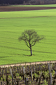 Lone tree in a countryside landscape.