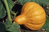 Potimarron rouge (Cucurbita maxima), légume