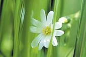 Field chickweed (Cerastium arvense), flower