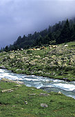 Cows in mountain in summer, Pont d'Espagne, Pyrenees, France