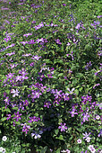 Clematis (Clematis integrifolia) 'Arabella', Climbing flowering plant