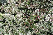 Ornamental apple tree (Malus 'Evereste') in bloom in spring