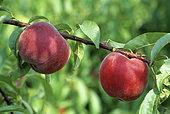 Pêche 'Royal Gold' (Prunus persica)