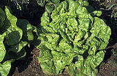 Head lettuce 'Fat lazy blonde' (lactuca sativa capitata), Vegetable