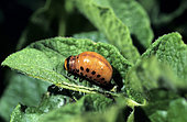 Colorado potato beetle larva (Leptinotarsa decemlineata), parasite