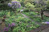 Small medieval priest's garden, Japanese Wisteria (Wisteria floribunda) 'Snow Shower', Hyde Hall, Essex, England