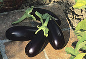 Eggplant (Solanum melongena), Organic farming in August