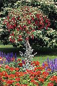 Flower bed of annual: Pelargonium (Pelargonium sp), Sage (Salvia sp), Fuchsia in stem (Fuchsia sp), Eucalyptus (Eucalyptus sp) in summer