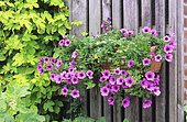 Flower container of Petunia (Petunia sp) and Golden Hops (Humulus lupulus) 'Aureus' in summer