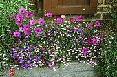 Window sill with flowers: Daisybush (Dimorphoteca sp syn. Osteospermum sp), Lobelia (Lobelia sp), Fleabane (Erigeron sp), Bacopa (Sutera sp). Private garden, Belgium