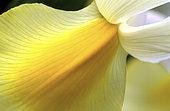 Botanique : Coeur d'un Iris.