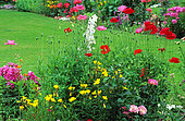 Sundrops (Oenothera tetragona), Corn poppy (Papaver rhoeas), Rose 'Centenaire de Lourdes' (Rosa sp), Phlox (Phlox sp). Garden of Harcourt Castle, Normandy, France