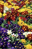 Tall primrose or primrose (Primula elatior hybride)'Crescendo Mischung' and Tulip (Tulipa sp)