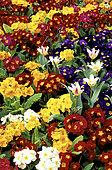 Tall primrose or primrose (Primula elatior hybride) and Tulip (Tulipa sp)