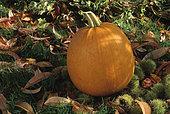 Halloween squash (Cucurbita pepo) 'Jack O' Lantern '