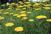 Fernleaf yarrow (Achillea filipendulina) 'Parker's Variety' in bloom