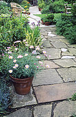 Paving and Marguerite (Argyranthemum sp) in pot, Little Trafalgare Kent, England