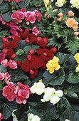 Begonias (Begonia sp) in mixture.