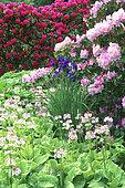 Spring massif: Japanese primrose (Primula japonica), Siberian iris (Iris sibirica), Azalea (Rhododendron periclymenoides) 'Lavender Girl'.