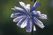 Wild flower and dew