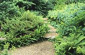 Alley and Hart's Tongue Fern (Asplenium scolopendrium), Soft shield fern (Polystichum setiferum), Alpine lady's mantle (Alchemilla mollis)