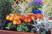 Chrysanthemum (Chrysanthemum sp), Cypress (Chamaecyparis sp) and Silver ragwort (Senecio maritima) in a planter